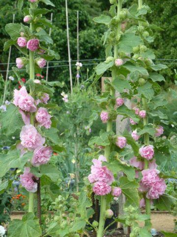 Alcea rosea 'Rose Delight' - Stokroos