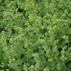 Alchemilla caucasica  - Dwergvrouwenmantel