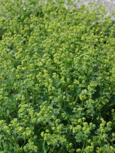 Alchemilla vulgaris - Vrouwenmantel