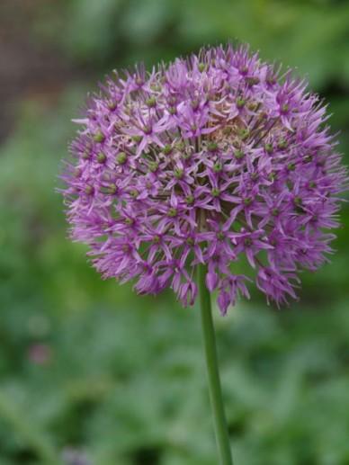 Allium aflatunense  - Sierui