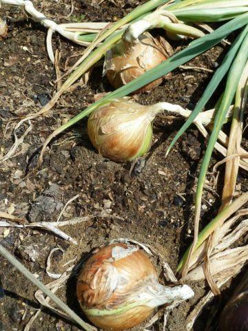 Allium cepa  - Ui , Bosui , Sjalot , Winterui , Zilverui