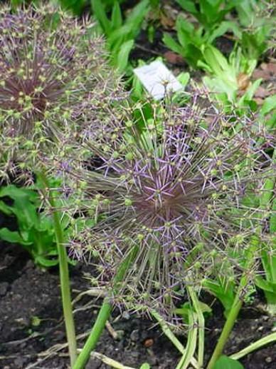 Allium christophii  - Sterrenlook , Sierui