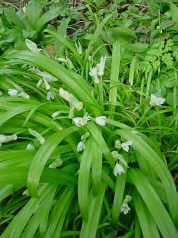 Allium paradoxum  - Armbloemige look