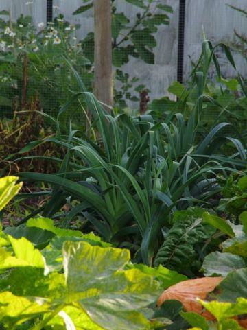 Allium porrum  - Prei