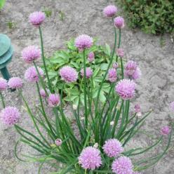 Allium schoenoprasum  - Bieslook