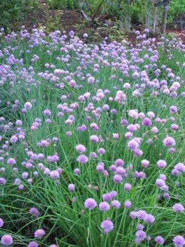 Allium schoenoprasum 'Forescate' - Sierlook