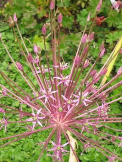 Allium schubertii - Sierui