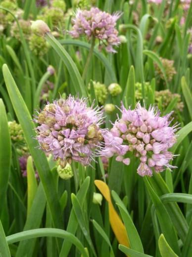 Allium senescens  - Bieslook