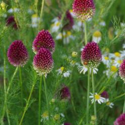 Allium sphaerocephalon  - Kogellook , Trommelstokjes
