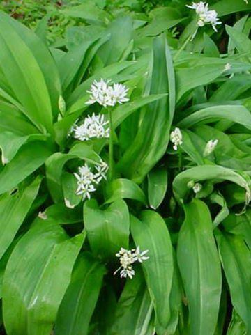 Allium ursinum  - Daslook