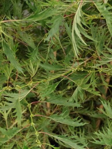 Alnus glutinosa 'Imperialis' - Zwarte els