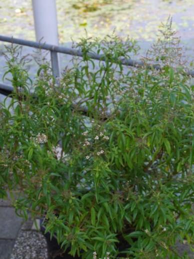 Aloysia triphylla  - Citroenverbena , Verveine