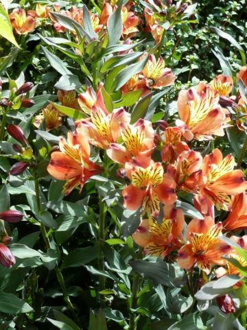 Alstroemeria  'Indian Summer' (='Tesronto') - Incalelie