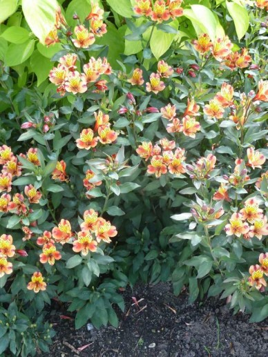 Alstroemeria  'Indian Summer' (='Tesronto') - Incalelie