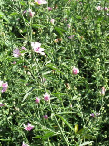 Althaea cannabina - Hennepbladstokroos, stokroos
