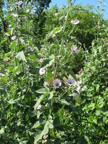 Althaea officinalis  - Echte Heemst , Hoge Maluwe , Pijlstaartwortel , Tandwortel , Witte Malva