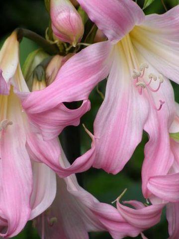 Amaryllis belladonna  - Belladonnalelie