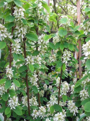 Amelanchier alnifolia 'Obelisk' - Krenteboom