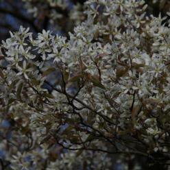 Amelanchier lamarckii - Krentenboompje