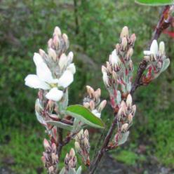 Amelanchier rotundifolia 'Edelweiss' - Krenteboompje