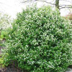Amelanchier rotundifolia 'Helvetia' - Krentenboompje, rotsmispel