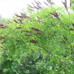 Amorpha fruticosa  - Indigostruik