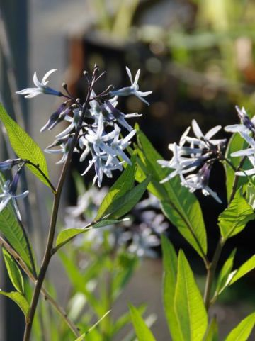 Amsonia 'Blue Ice' - Stermaagdenpalm, blauwe ster