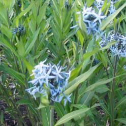 Amsonia illustris  -