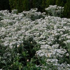 Anaphalis triplinervis - Siberisch edelweiss, Witte knoop