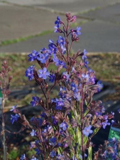 Anchusa azurea 'Dropmore' - Ossetong