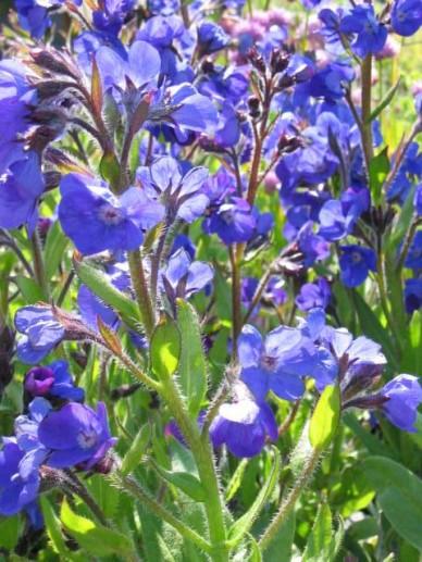 Anchusa azurea 'Loddon Royalist' - Ossetong