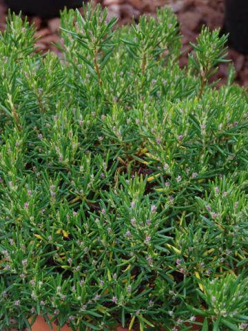 Andromeda polifolia 'Nikko' - Lavendelheide , Rotsheide