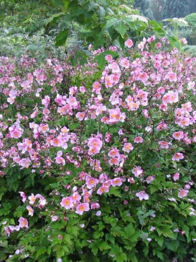 Anemone × hybrida 'Elegans' - Herfstanemoon