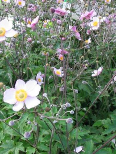 Anemone × hybrida 'Hadspen Abundance' - Herfstanemoon
