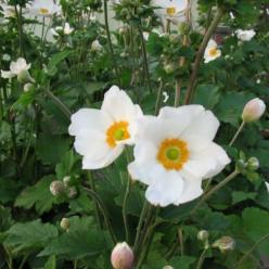 Anemone 'Honorine Jobert´ - Herfstanemoon