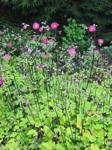 Anemone × hybrida 'Pamina' - Herfstanemoon