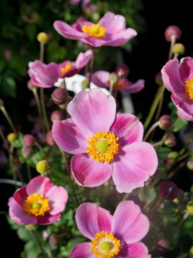 Anemone x hybrida 'Pink Cloud' ('PKAN'PBR)