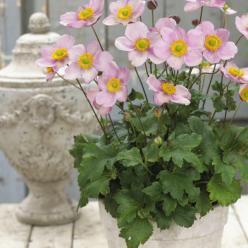 Anemone × hybrida 'Pink Kiss' (='PKAN') - Herfstanemoon