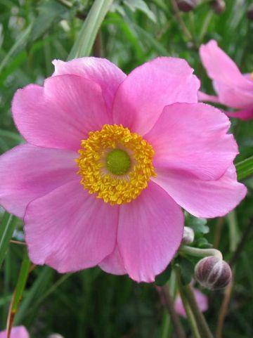 Anemone × hybrida 'Serenade' - Herfstanemoon