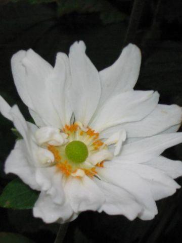 Anemone 'Whirlwind' - Herfstanemoon