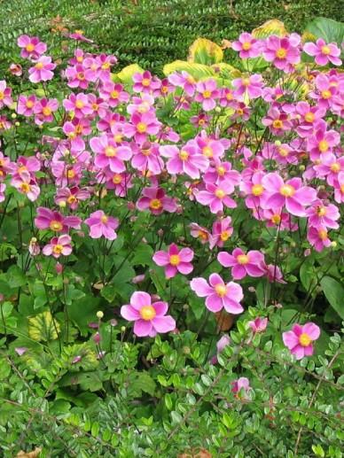 Anemone hupehensis 'Praecox' - Herfstanemoon