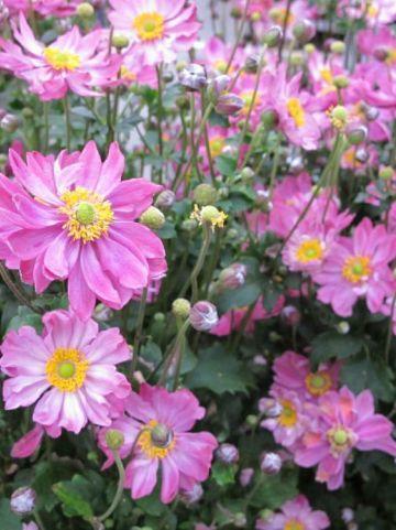 Anemone hupehensis 'Pretty Lady Emily' - Herfstanemoon