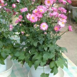 Anemone hupehensis 'Pretty Lady Julia' - Herfstanemoon