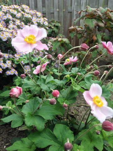 Anemone hupehensis 'September Charm' - Herfstanemoon
