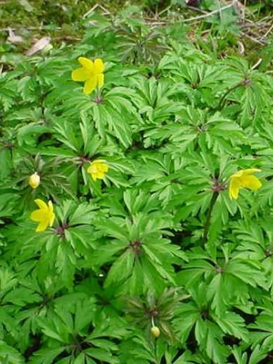 Anemone ranunculoides  - Gele anemoon , Anemoon, geel