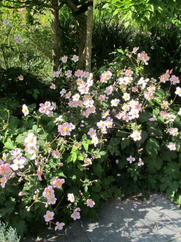 Anemone tomentosa 'Robustissima' - Herfstanemoon