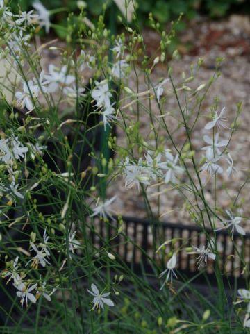 Anthericum ramosum  - Grote graslelie