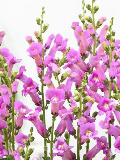 Antirrhinum majus 'Pretty In Pink' (='PMOORE07') - Leeuwebek