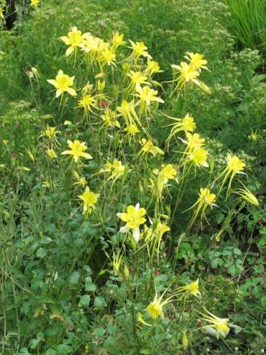 Aquilegia chrysantha  - Gele akelei