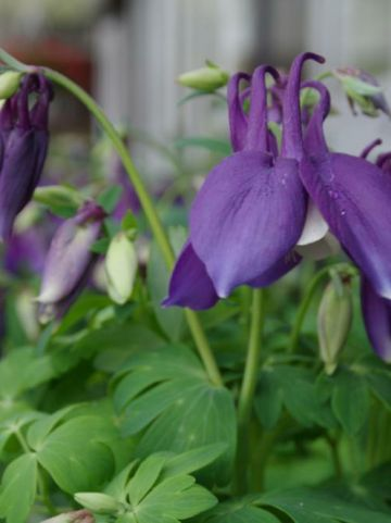 Aquilegia  'Spring Magic Blue & White' - Akelei